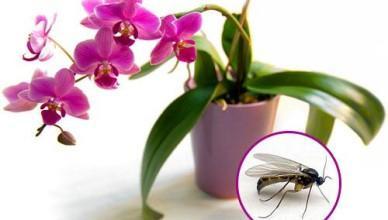 10-kak izbavit'sya ot moshek v komnatnih cvetah