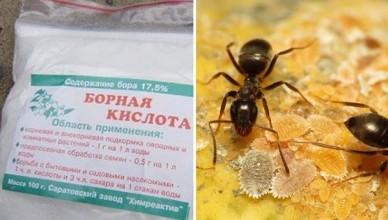 bornaya-kislota-ot-muravev-1