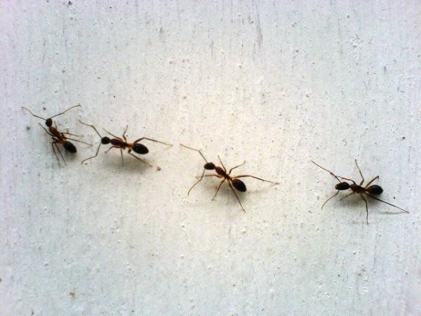 Муравьи на стене