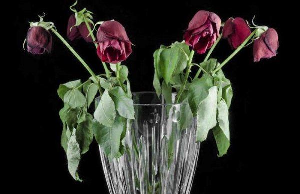 Розы вянут